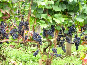 Grapes, Gevrey Chambertin, France