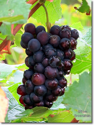 Pinot Noir grapes, Gevrey-Chambertin, Burgundy, France