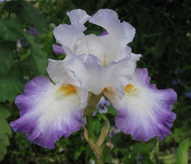 Iris, Monet's garden, Giverny, France