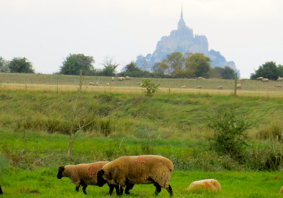 Sheep near Mont St-Michel