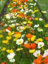 Poppies, Jardin des Plantes, Paris