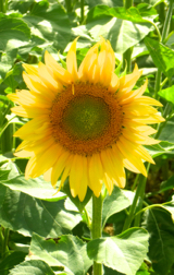 Sunflower, Provence